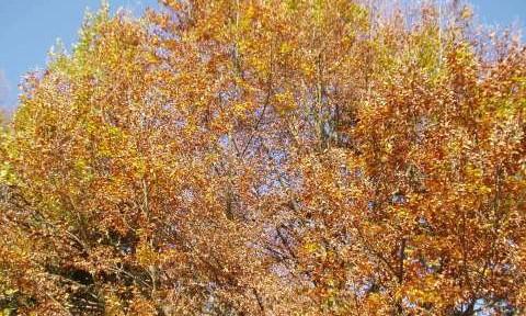 Jesen drevje rjavo rdeče listje kostanj